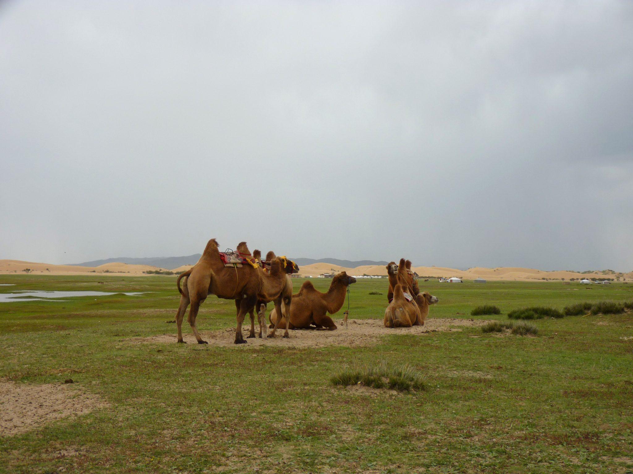 Camelos 01 Mongólia Mundo Indefinido
