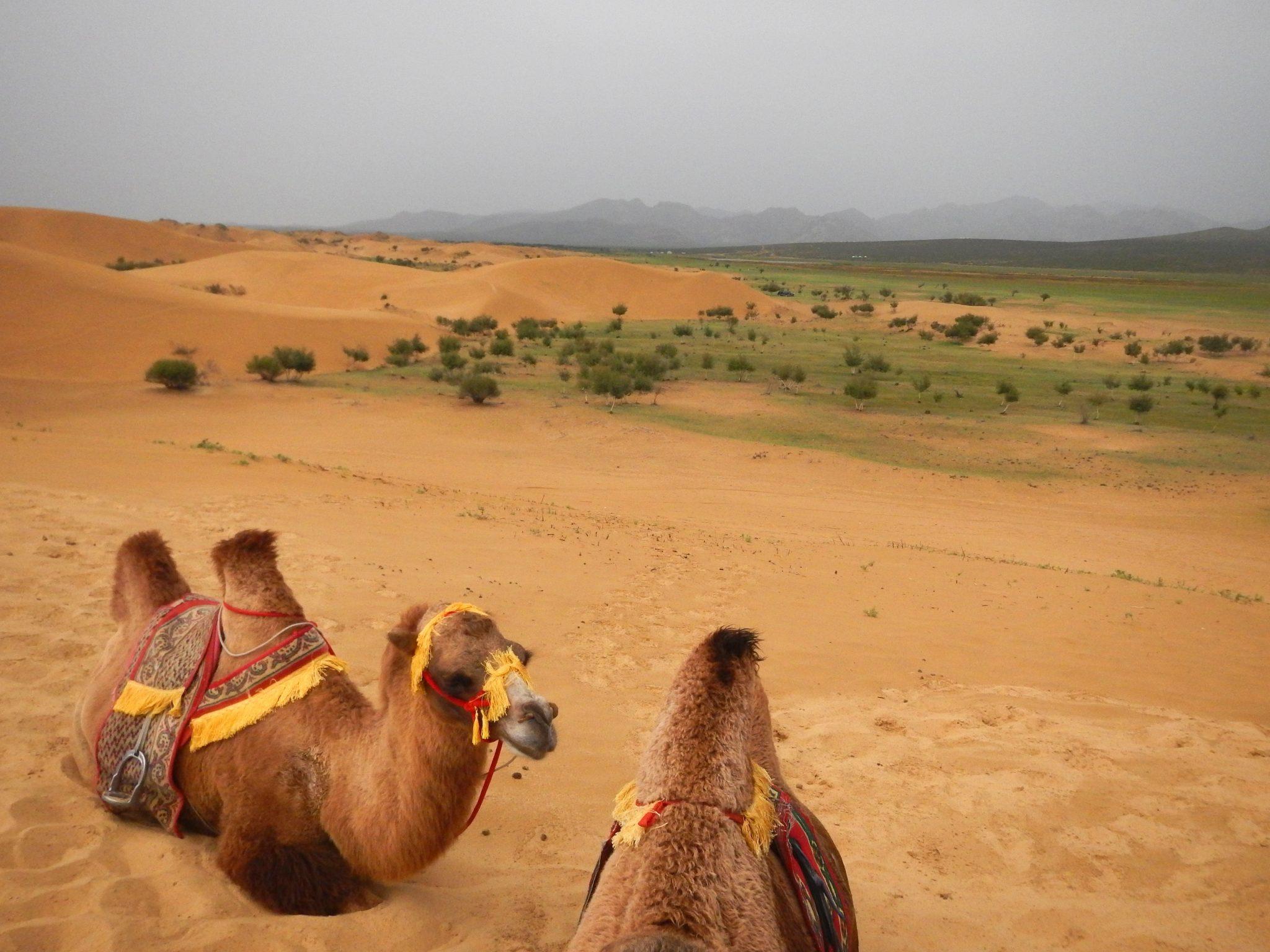 Camelos 02 Mongólia Mundo Indefinido